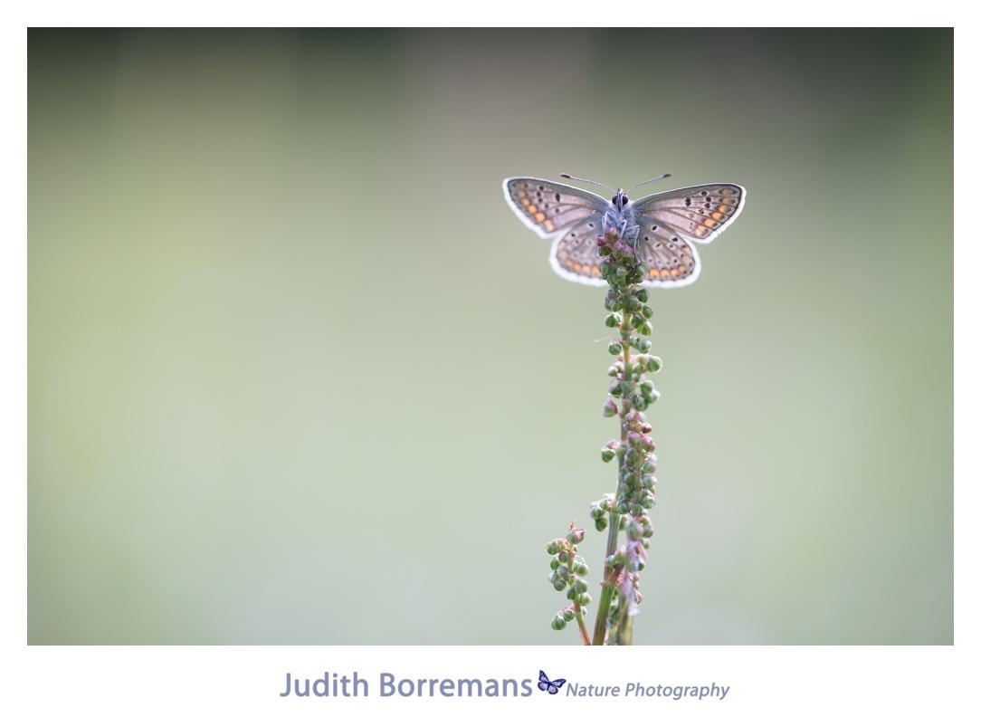 Bruinblauwtje in La Brenne