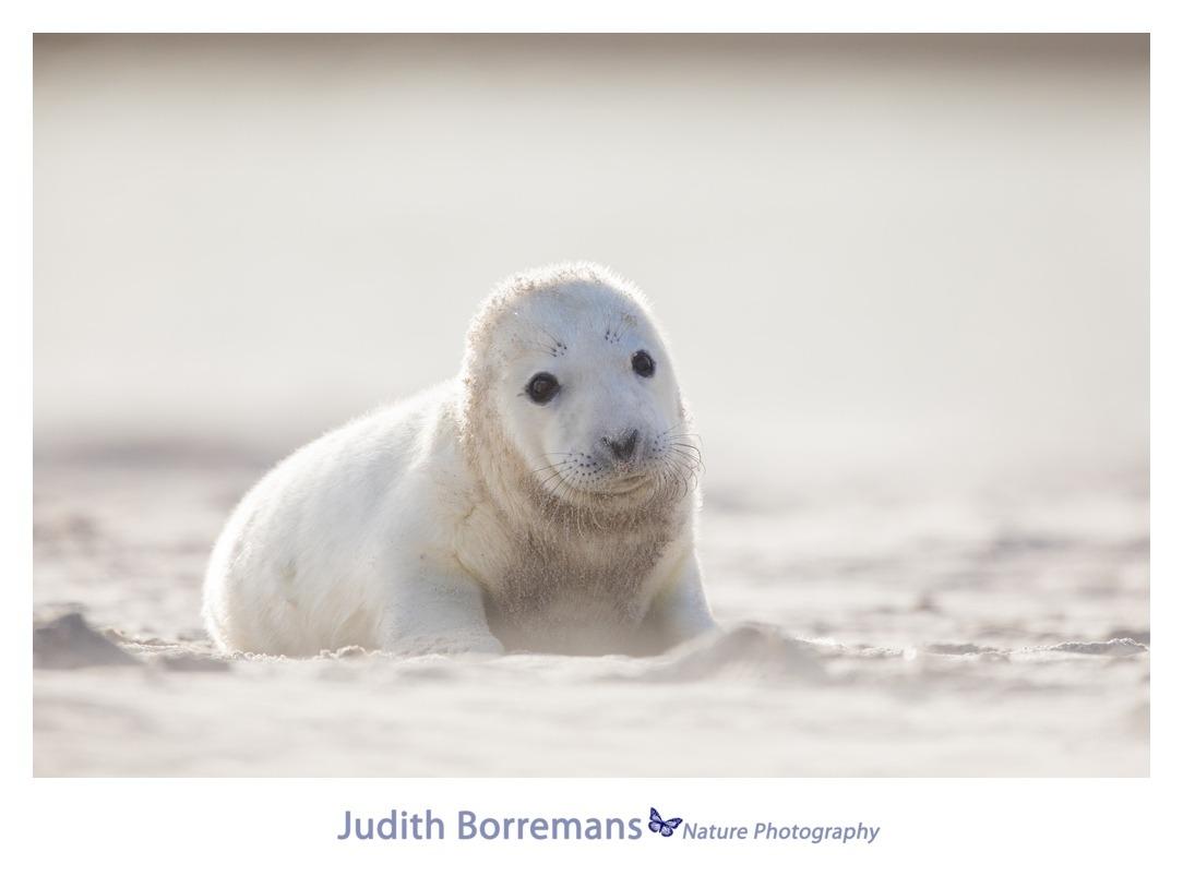 Zeehondje op Dune - Helgoland