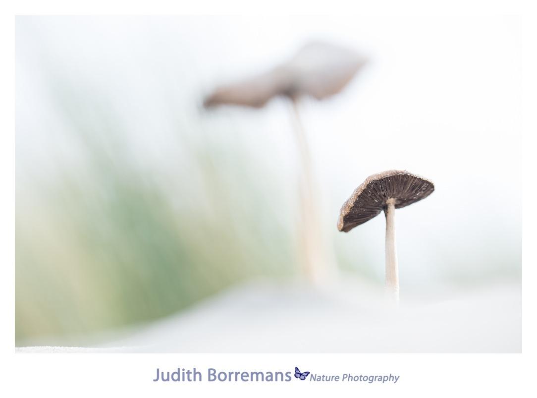 Duinpaddenstoel