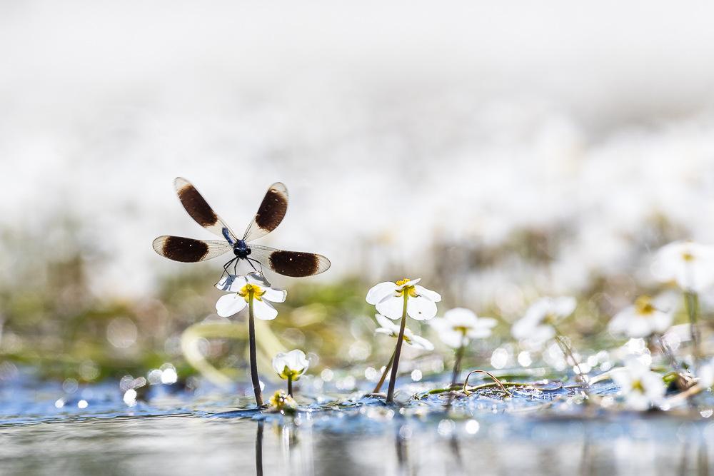 Weidebeekjuffer Vanaf Het Water
