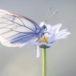 Vlinders In Viroinval Juni 2019