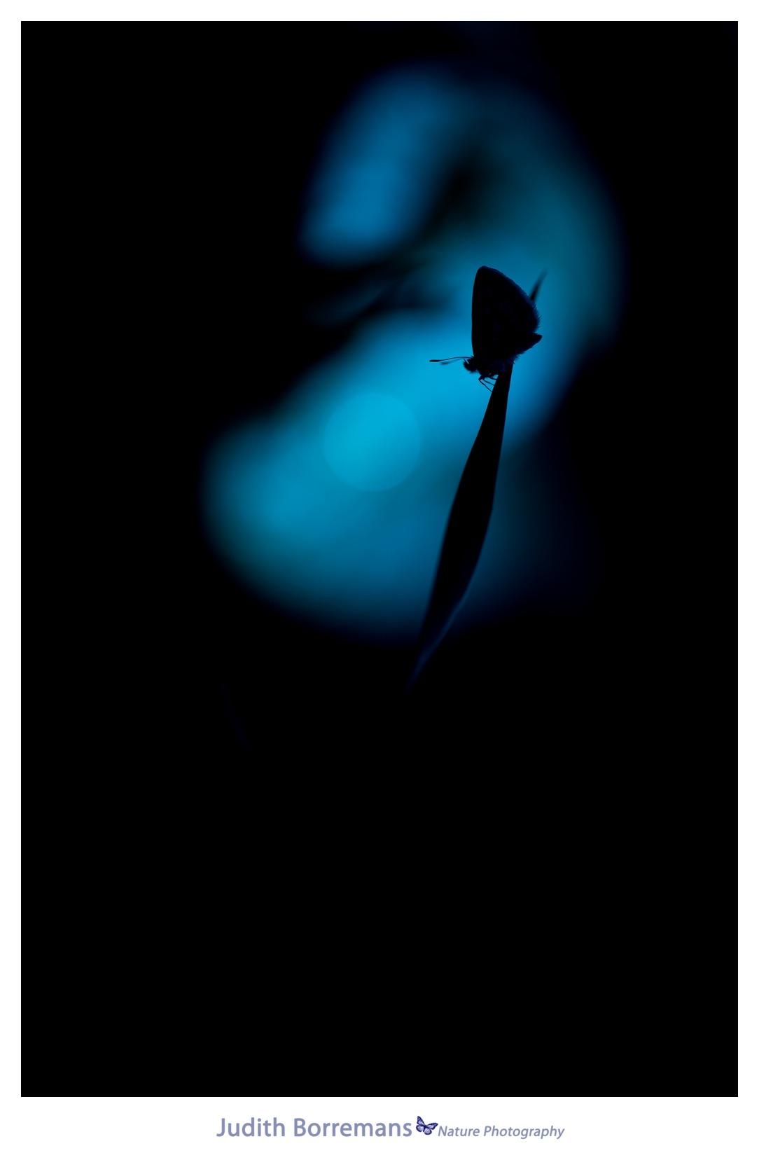 Icarusblauwtje in silhouette