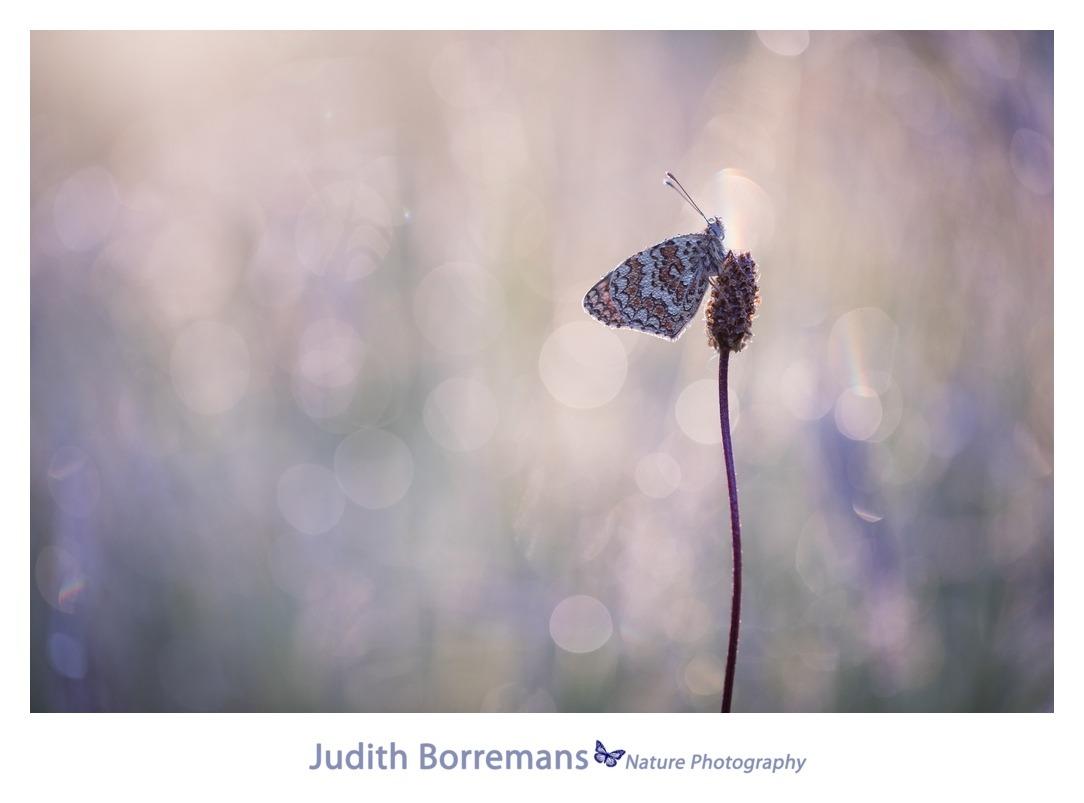 La Brenne – Knoopkruidparelmoervlinder