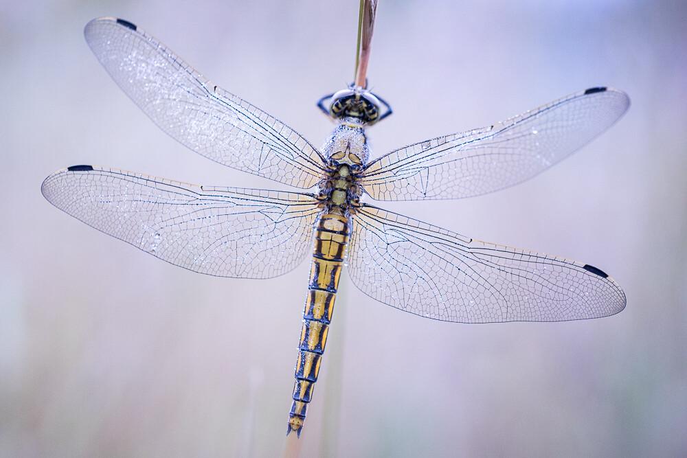 Libellen Fotograferen