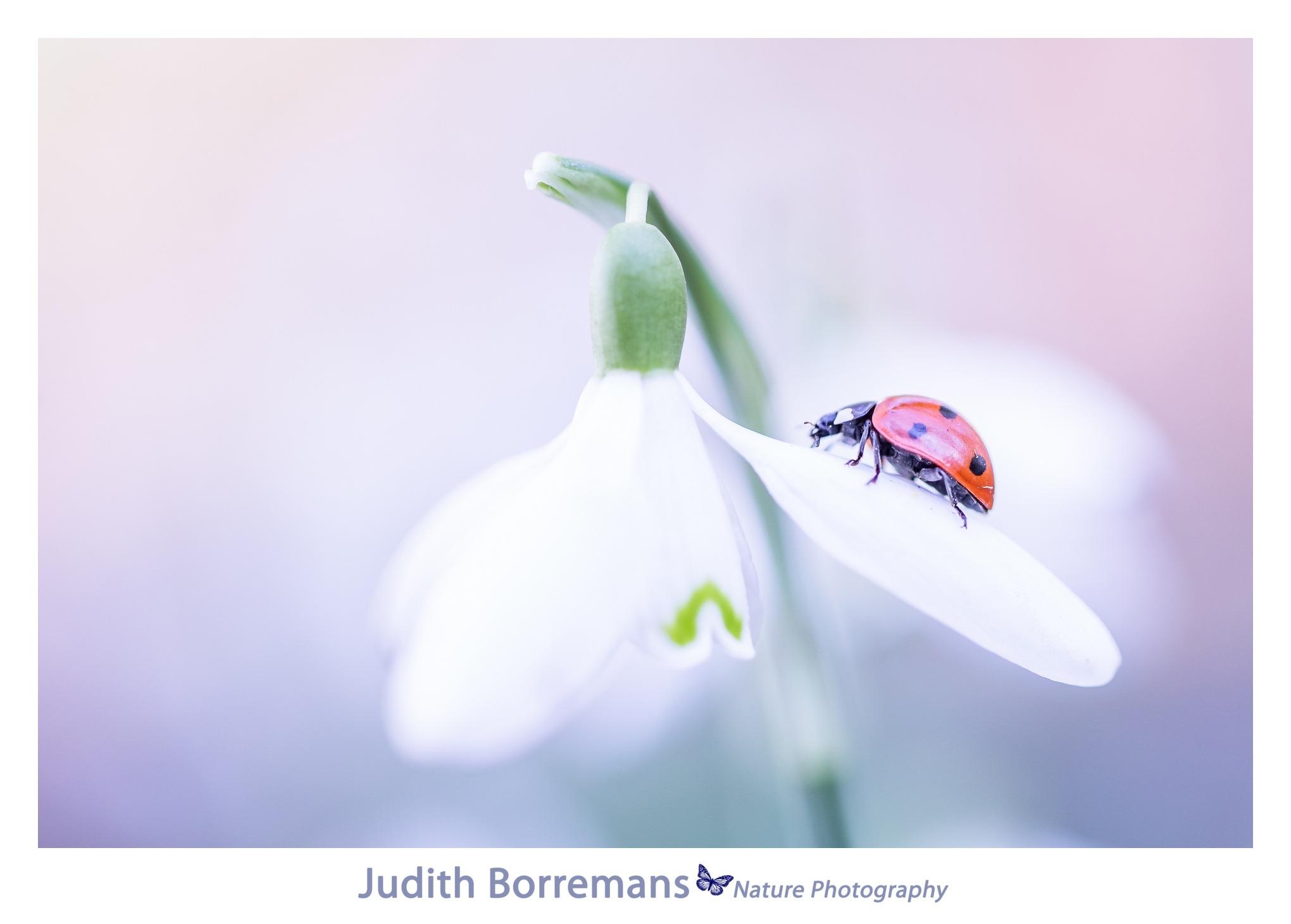 Lieveheersbeestje op sneeuwklokje-2