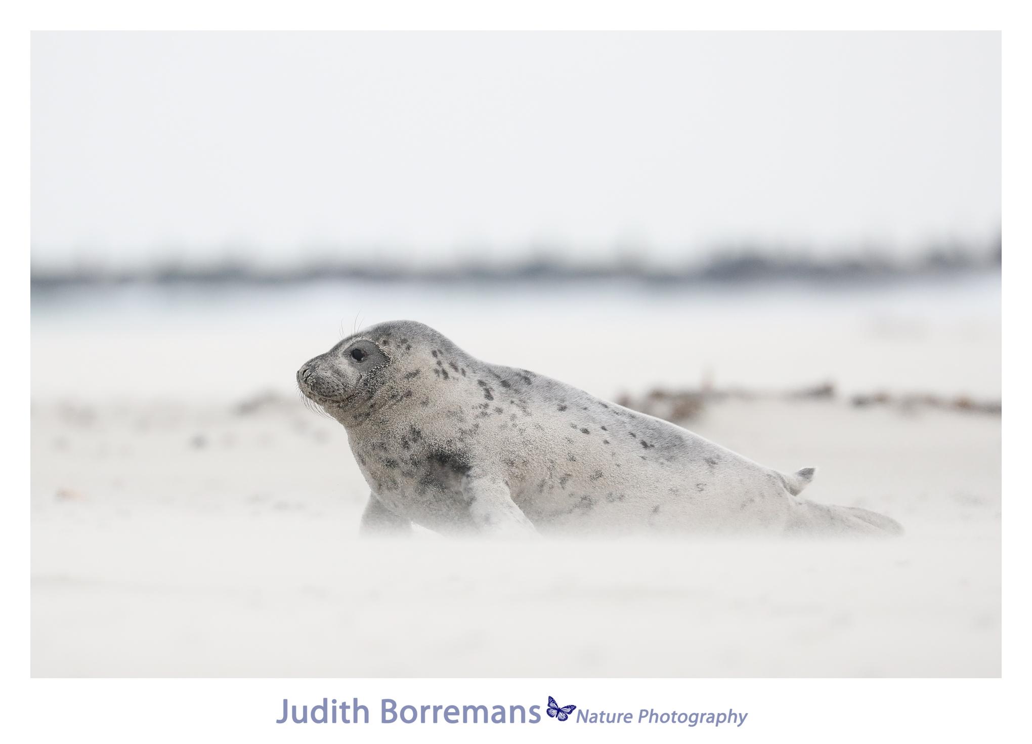 Zeehondje op Dune Helgoland