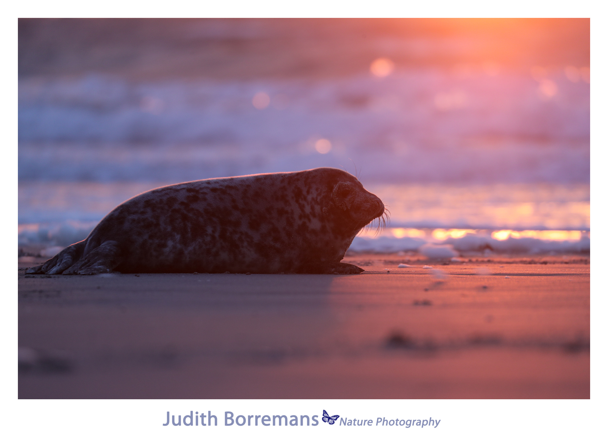 Zeehondje In Eerste Zonlicht Op Dune Helgoland
