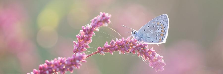 Vlinders In De Biesbosch