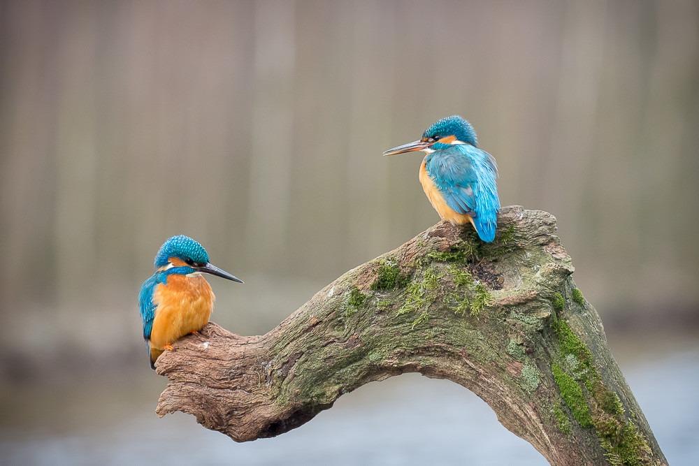 IJsvogels man en vrouw