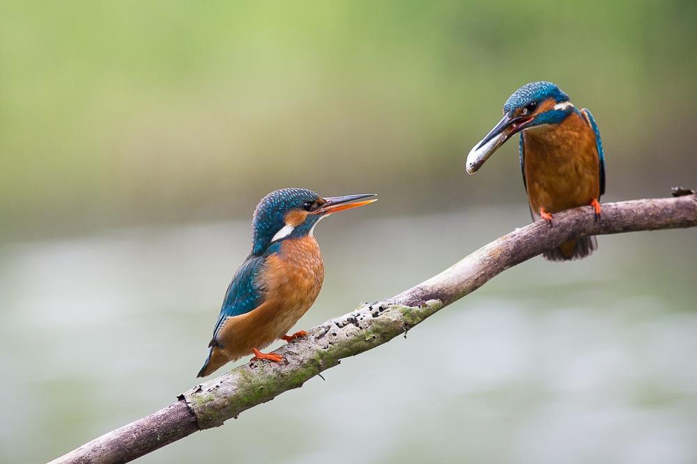 IJsvogel Man Geeft Visje Aan Vrouw