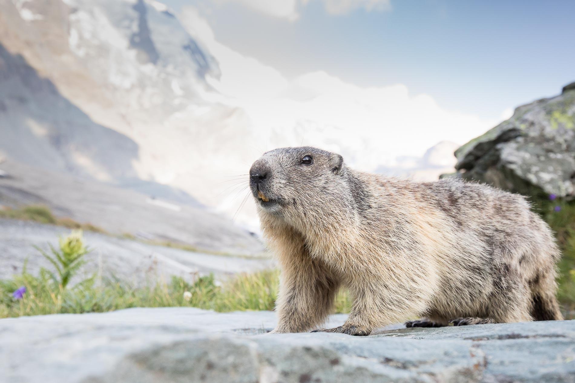 Alpenmarmot