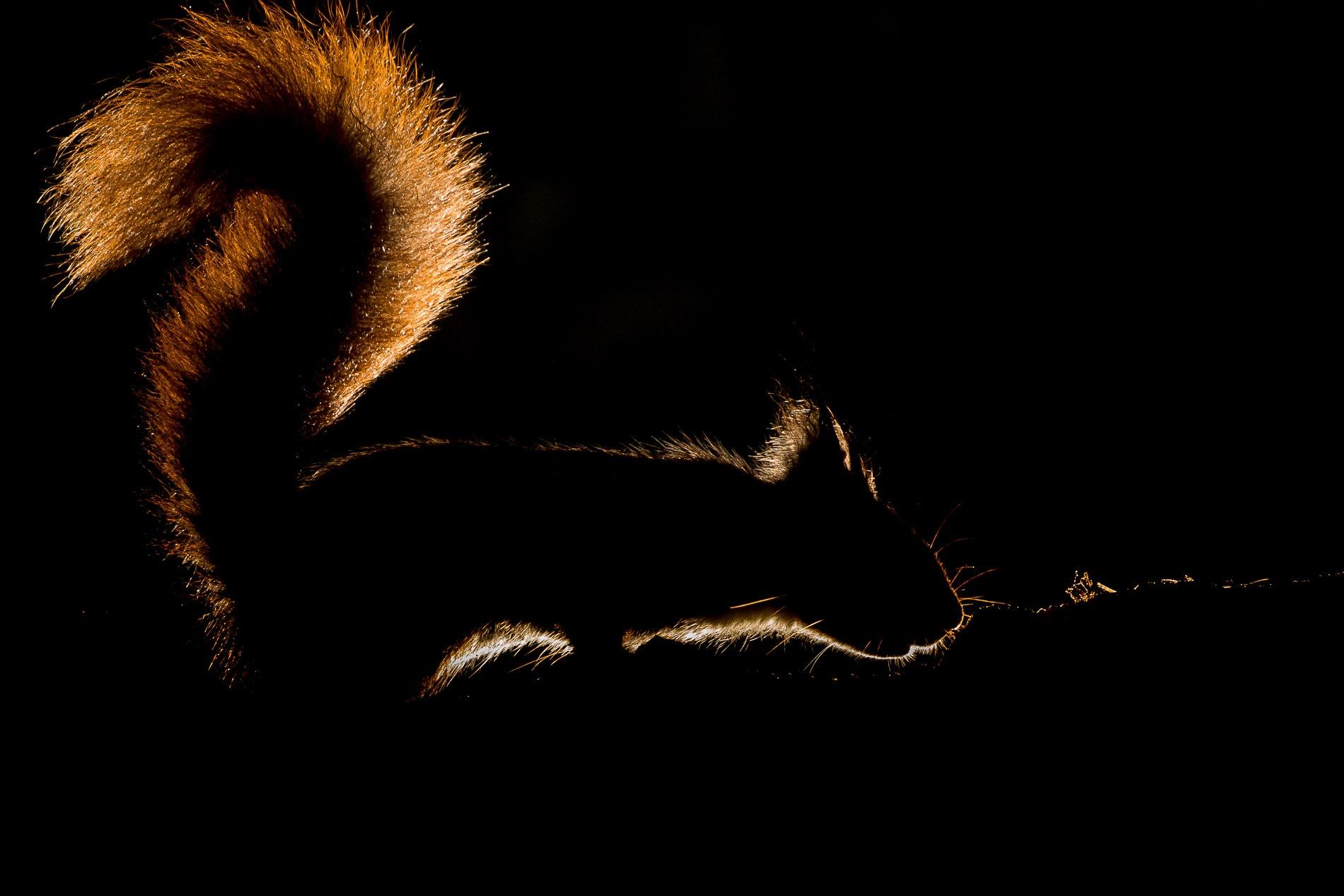Eekhoorn Met Tegenlicht