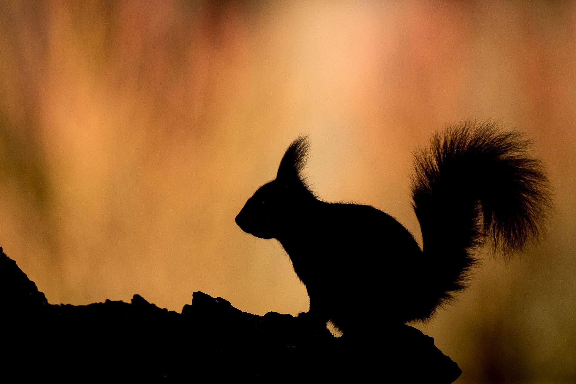 Eekhoorn Silhouette