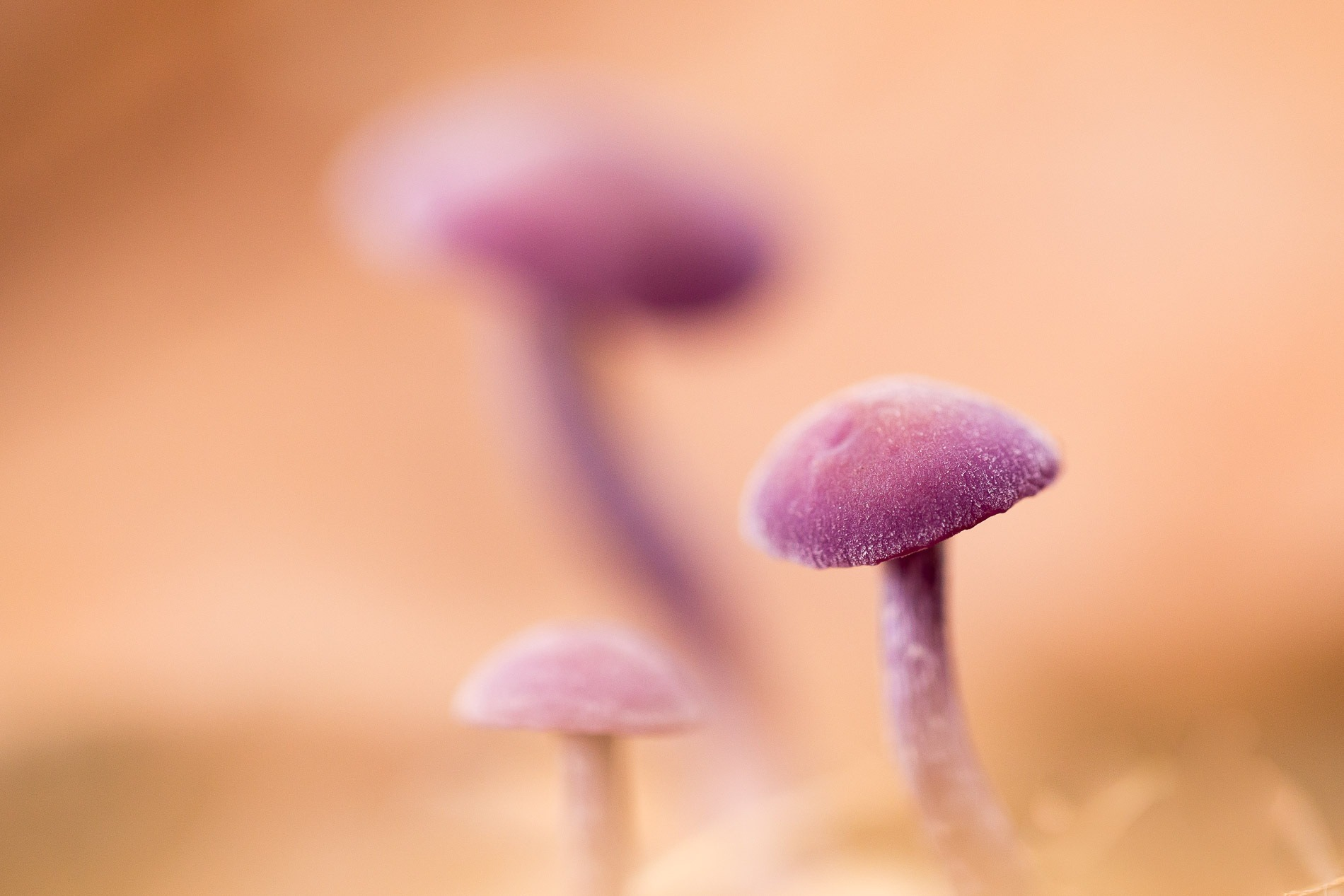 Purple Toadstools