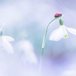 sneeuwklokje met lieveheersbeestje